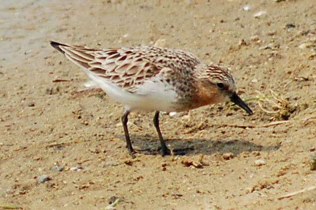 Red-necked Stint Photo 1