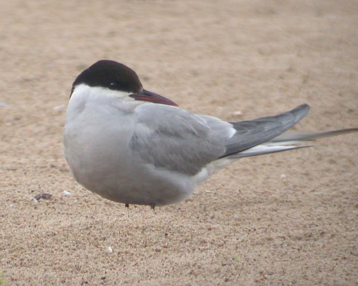 Arctic Tern (adult) Photo 2