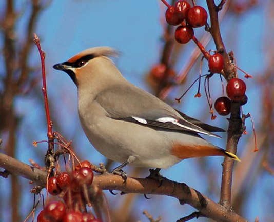 Bohemian Waxwing photo #1