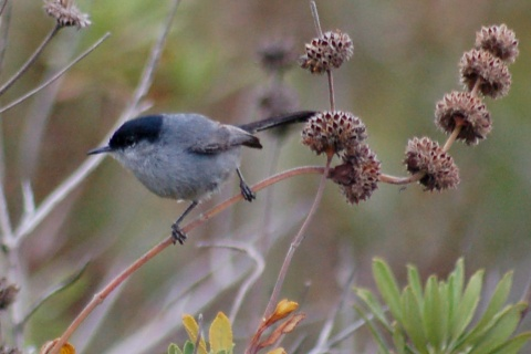 California Gnatcatcher photo #3