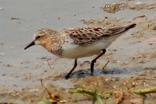 Red-necked Stint Photo 2