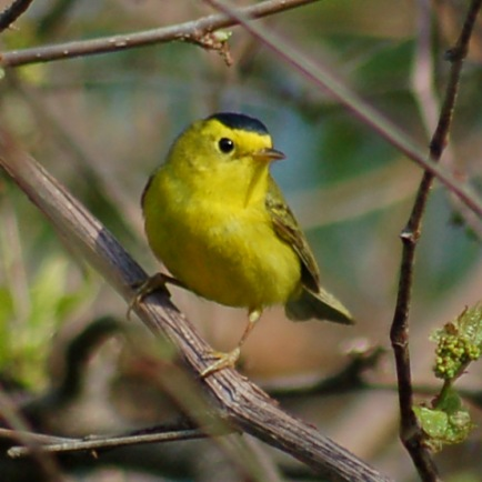 Wilson's Warbler photo #2