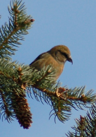 White-winged Crossbill (female)