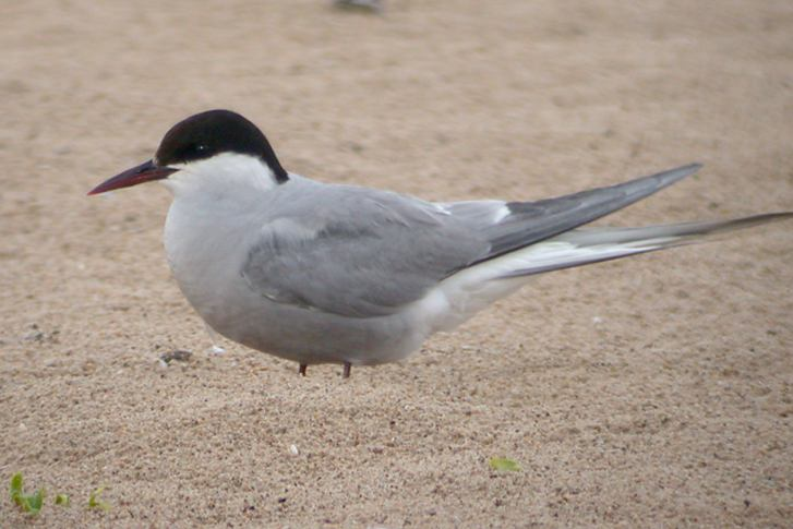 Arctic Tern (adult) Photo 1