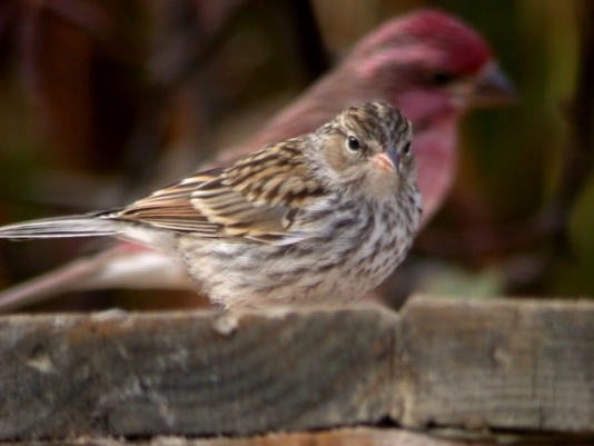Chipping Sparrow (juvenile) photo #2