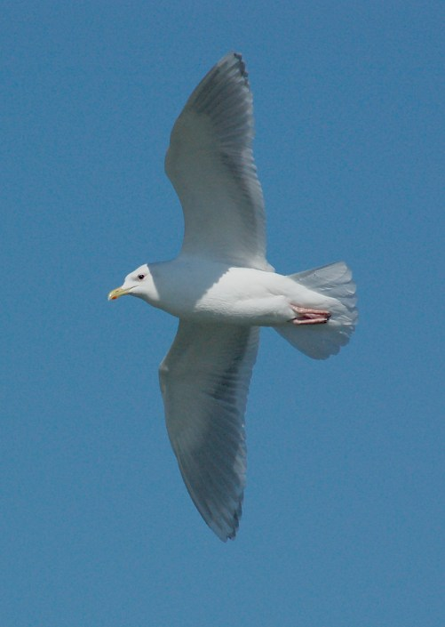 Iceland Gull (adult)