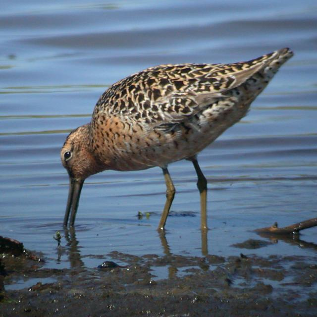 Short-billed Dowitcher photo #2