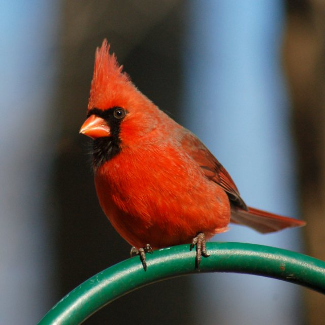 Northern Cardinal Photo #1
