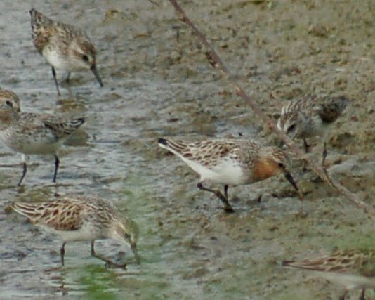 Red-necked Stint Photo 3