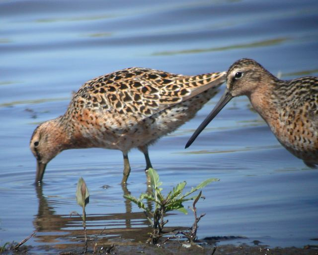 Short-billed Dowitcher photo #1