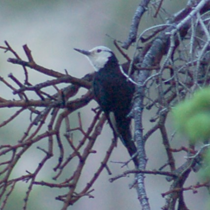 White-headed Woodpecker photo #3