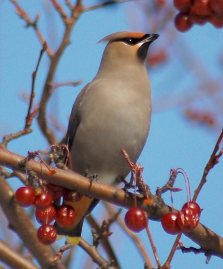 Bohemian Waxwing photo #2