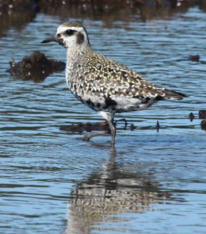 American Golden-plover photo #1