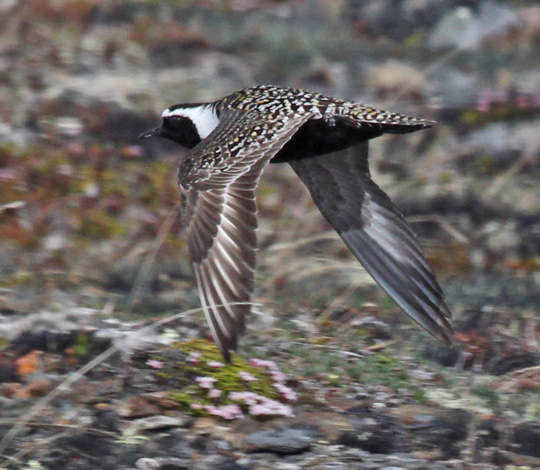 American Golden-Plover photo #5