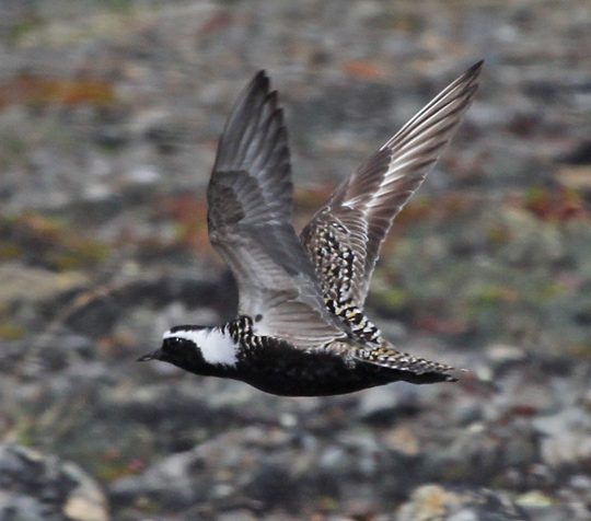 American Golden-Plover photo #4