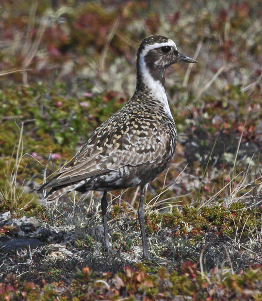 American Golden-Plover photo #3