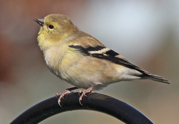 American Goldfinch  photo #1