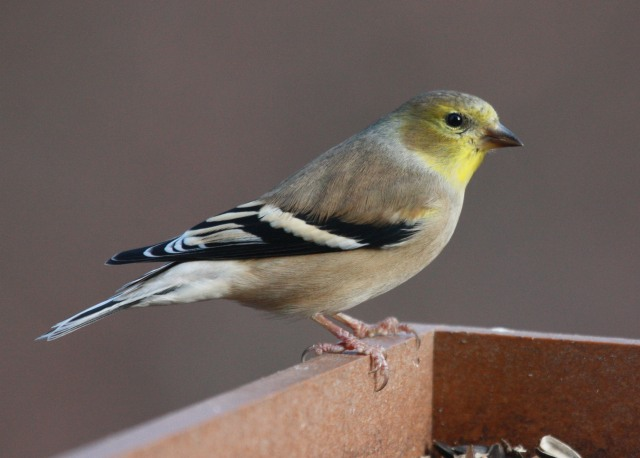 American Goldfinch  photo #2