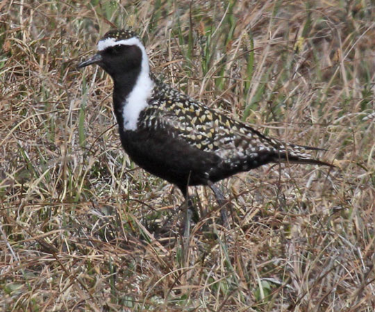 American Golden-Plover photo #2