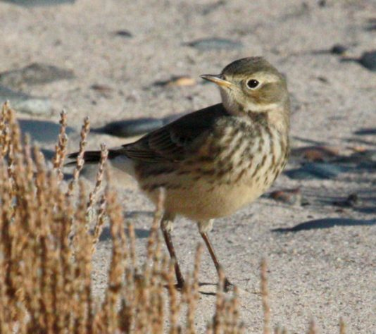 American Pipit photo #2