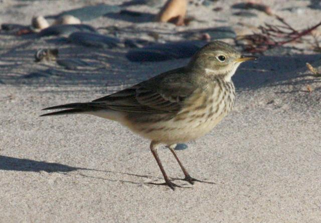 American Pipit photo #1