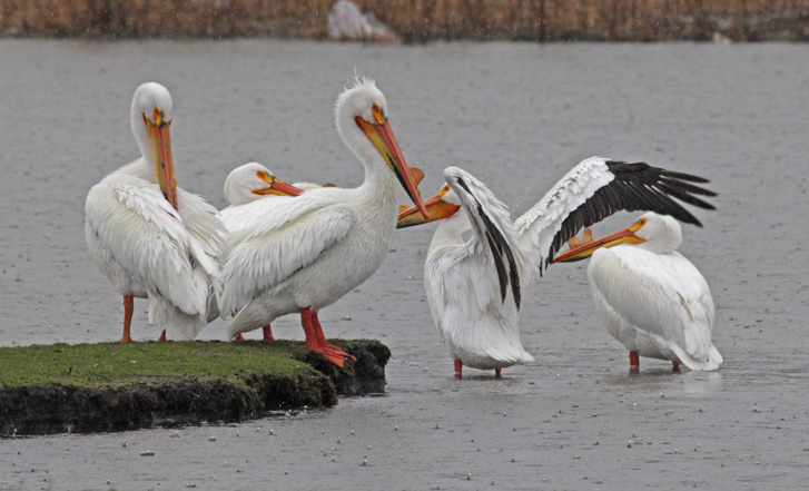 American White Pelican photo #2