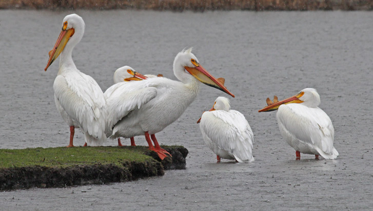 American White Pelican photo #1