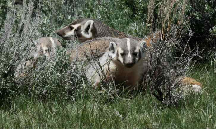 Badger (family group) photo 2