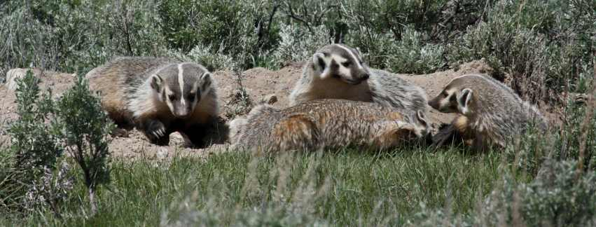 Badger (family group) photo 1