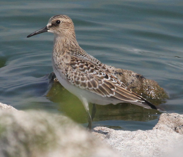 Baird's Sandpiper (juvenile) photo #1