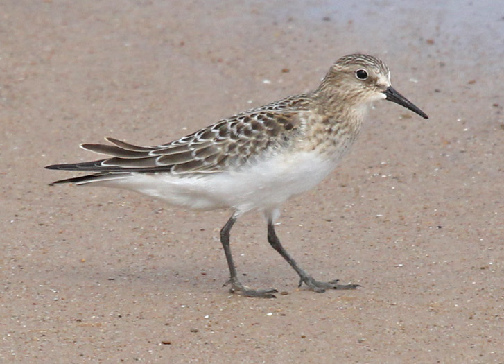 Baird's Sandpiper (juvenile) photo #4