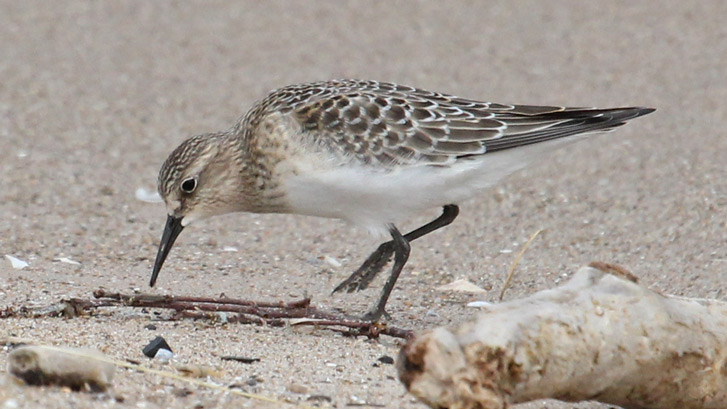 Baird's Sandpiper (juvenile) photo #3