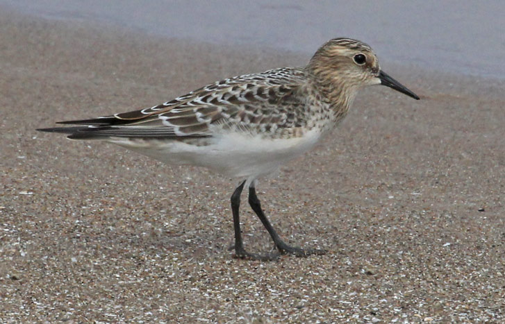 Baird's Sandpiper (juvenile) photo #2