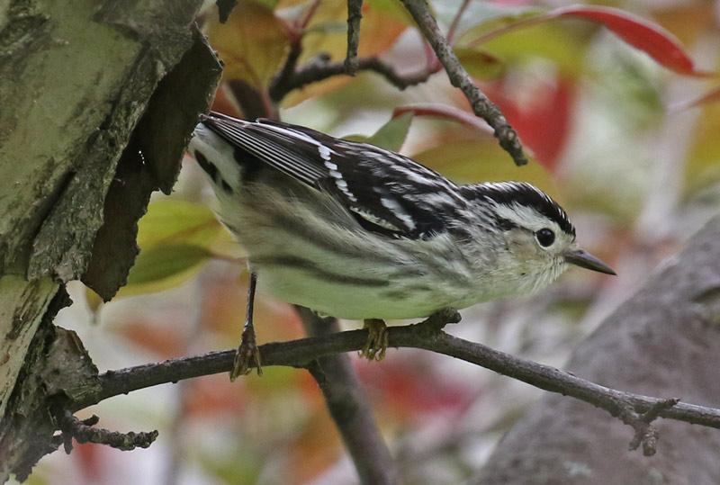 Black and White Warbler (female) photo #5