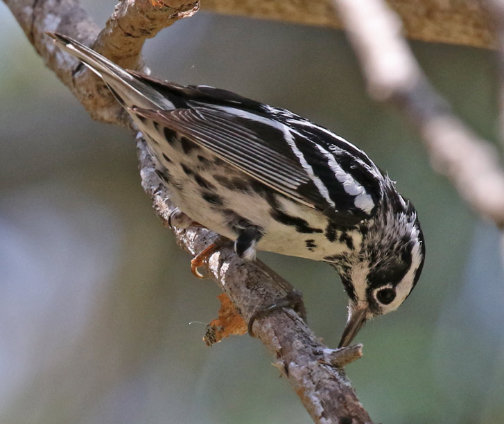Black and White Warbler (spring adult female)