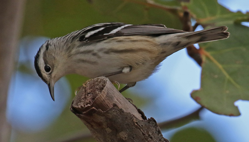 Black and White Warbler (female) photo #4