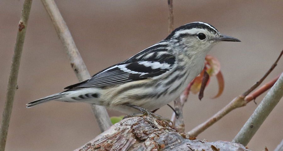 Black and White Warbler (female) photo #2