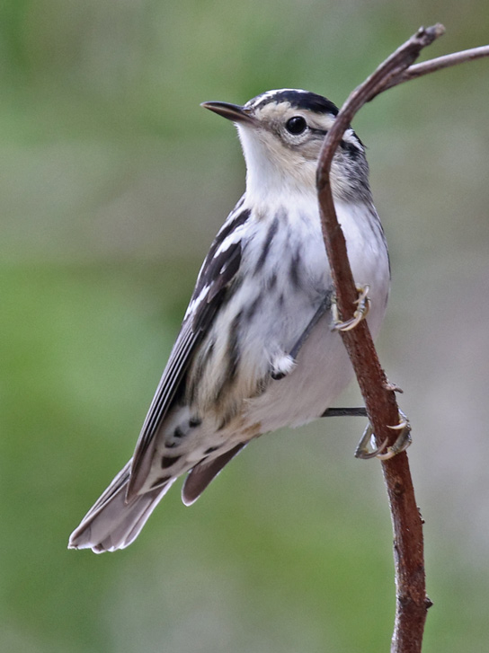 Black and White Warbler (female) photo #1