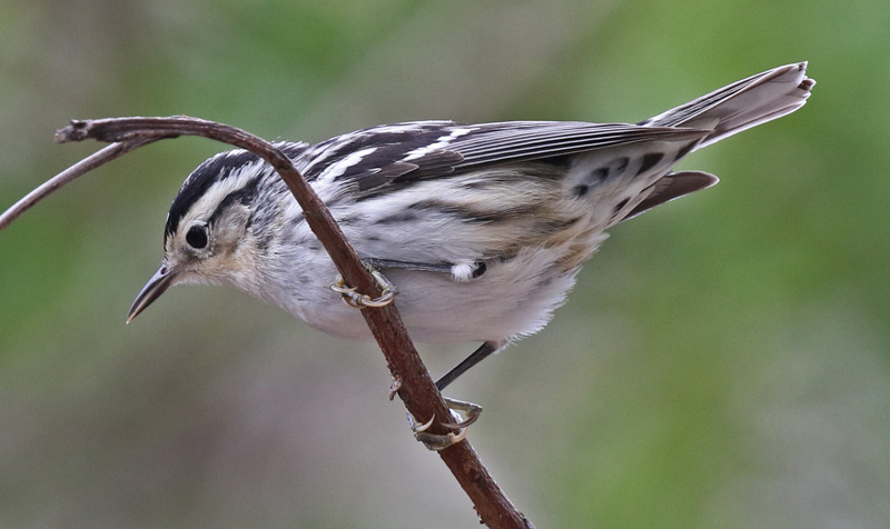 Black and White Warbler (female) photo #3