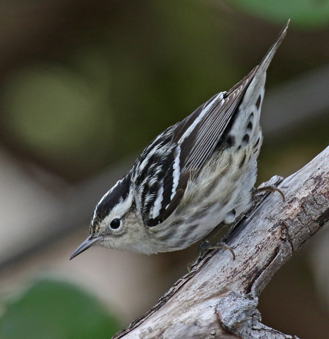 Black and White Warbler (female) photo #6