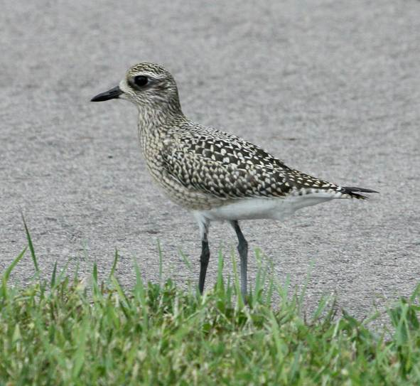 Black-bellied Plover (fresh juvenile) photo #2