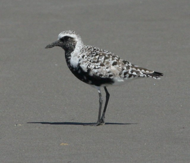 Black-bellied Plover photo #1