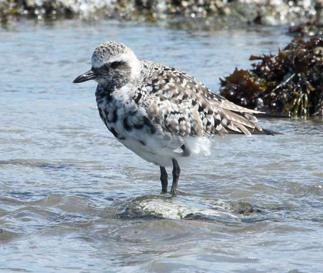Black-bellied Plover photo #2