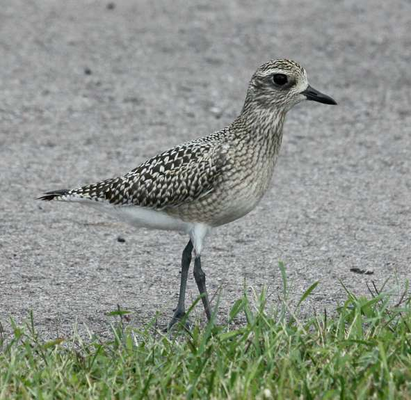 Black-bellied Plover (fresh juvenile) photo #1
