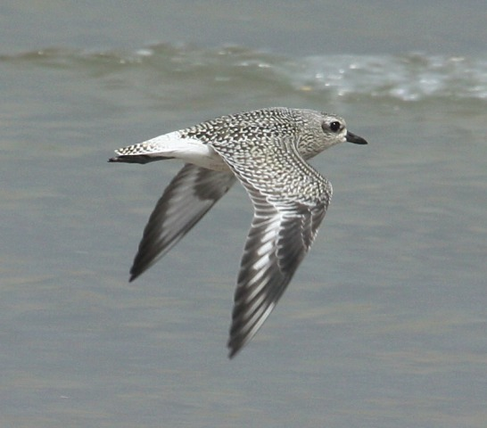 Black-bellied Plover (juvenile in flight)