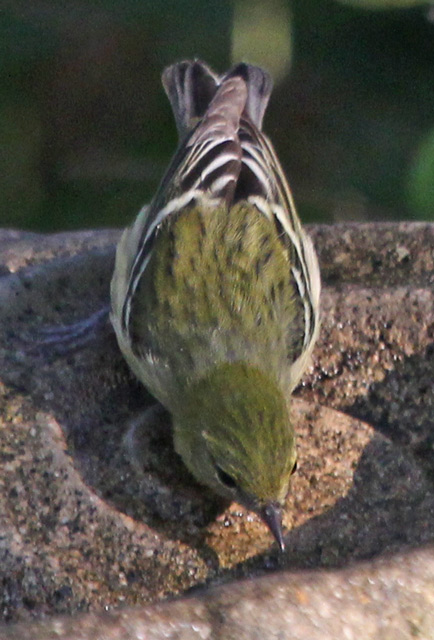 Bay-breasted Warbler (1st fall female) photo #5