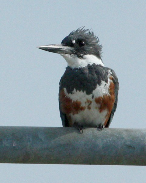 Belted Kingfisher photo 2