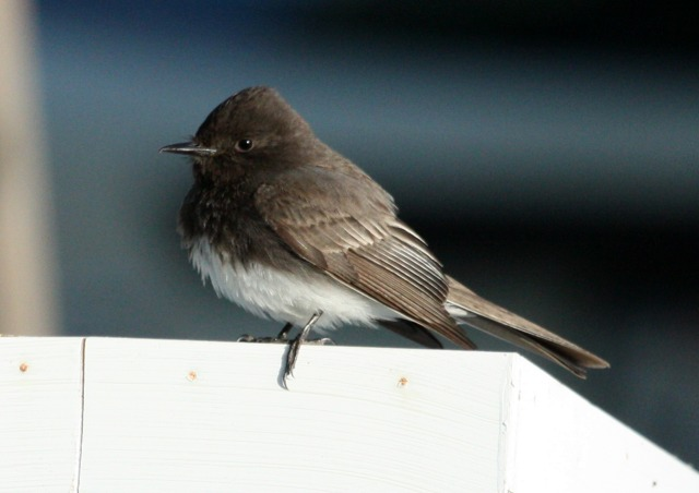 Black Phoebe photo #2