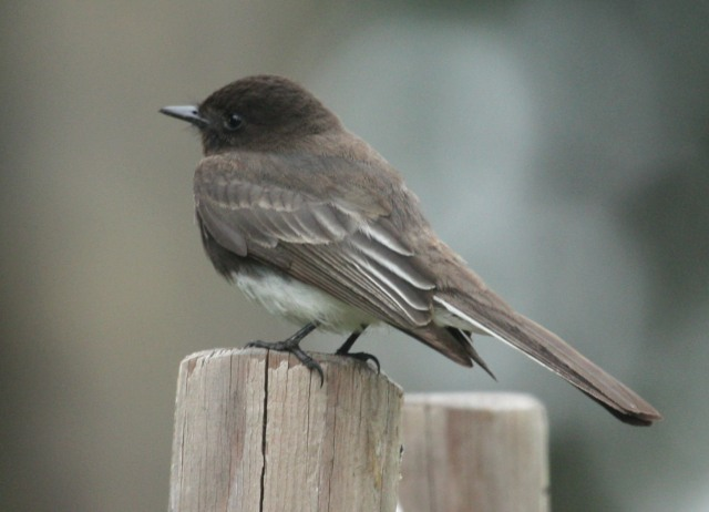 Black Phoebe photo #1