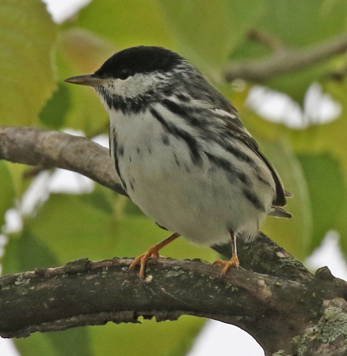 BLackpoll Warbler (spring male) photo #1